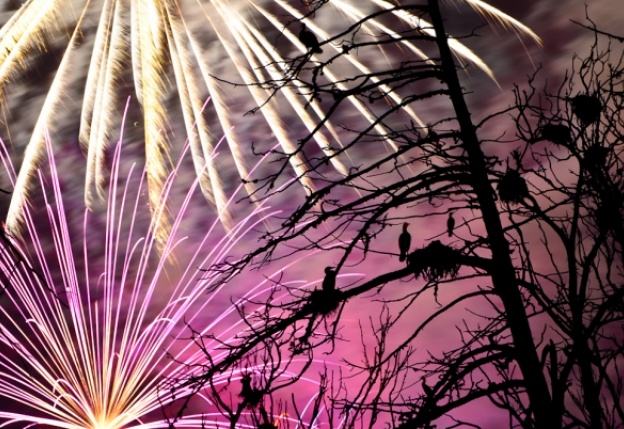 Audubon Magazine: Are Fireworks Dangerous to Birds?