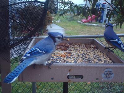 Backyard Blue Jays