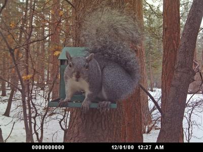 Gray Squirrel on Feeder