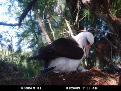Laysan albatross and new chick