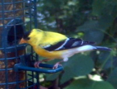 Goldfinch in Molt