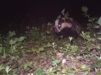 Badger Spotted in Matlock, United Kingdom
