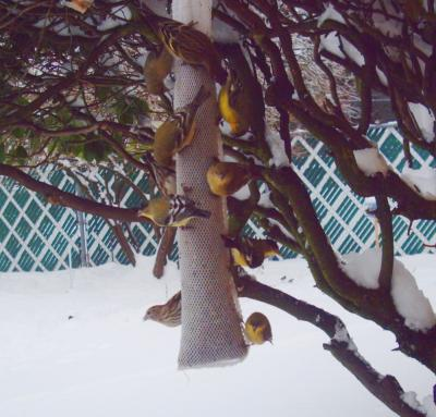 Lesser Goldfinches and Pine Siskins