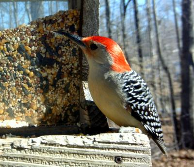 Woodpecker at backyard feeder