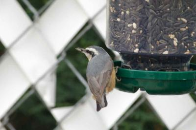 Red-breasted Nuthatch 3002