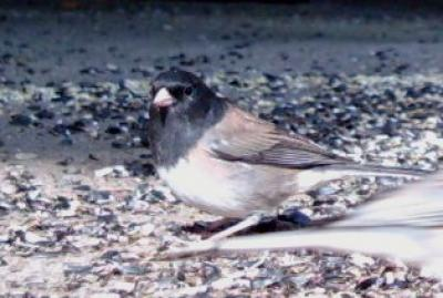 Dark-eyed Junco 3006