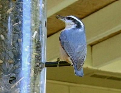 Red-breasted Nuthatch 3007