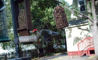 Red-bellied Woodpecker 3014