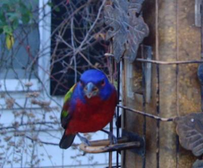 Painted Bunting 3026