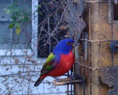 Painted Bunting 3027