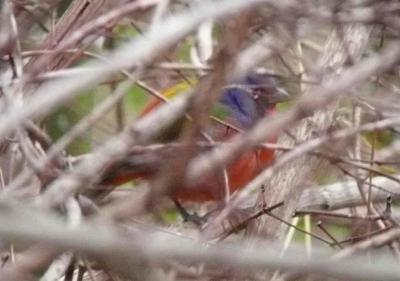 Painted Bunting 3028