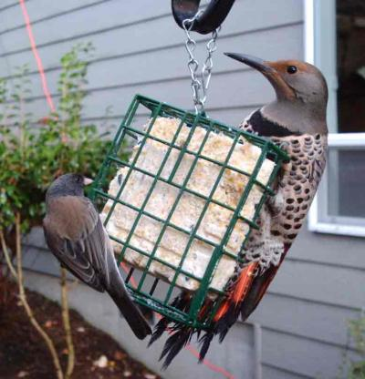 Dark-eyed Junco and Northern Flicker 3052
