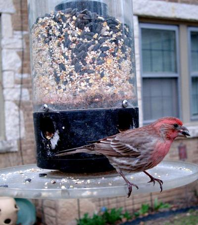 House Finch 3134