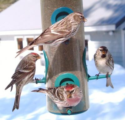 Common Redpoll 3136