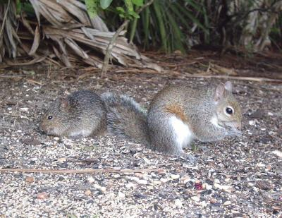 Eastern Harvest Mouse and Eastern Gray Squirrel 3198