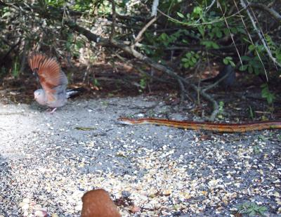 Red Corn Snake and Ground Dove 3199