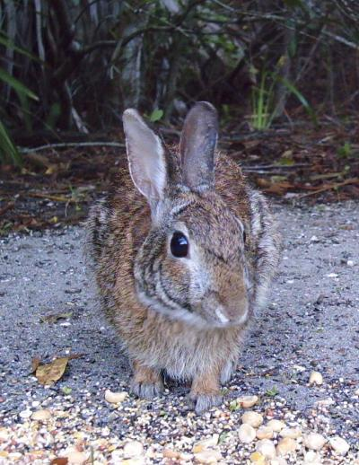 Eastern Cottontail 3201