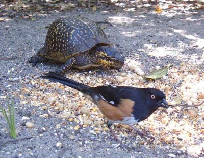 Eastern Towee and  Box Turtle 3210