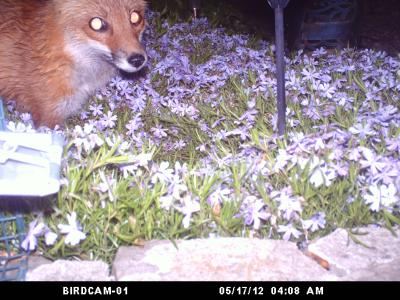 Fox in the Flowers - Lockport, New York