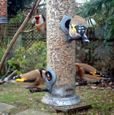 A Carm of Goldfinches