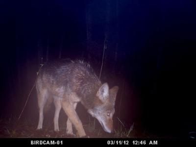 Coyote Glows on the Trail in Washington