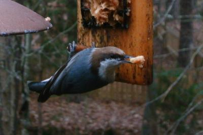 Brown Headed Nuthatch 4