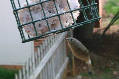 Ruby Crowned Kinglet 4