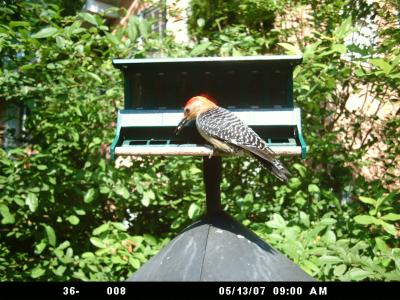 Red-bellied Woodpecker 144