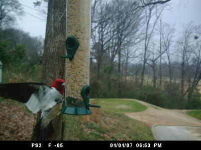 Red-headed Woodpecker 278
