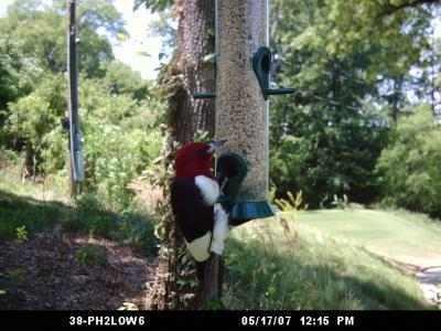 Red-headed Woodpecker 290