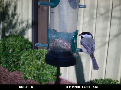 Carolina Chickadee 339