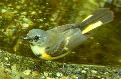 First year male Am. Redstart