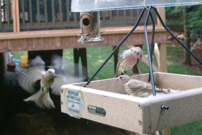 House Finches Coming In