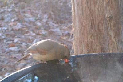 Northern Cardinal at Bird Bath