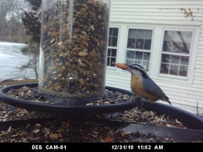 Peanut As Big As Nuthatch