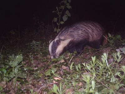 Badger Digging a Hole in Matlock, United Kingdom