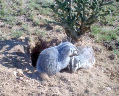Badgers in the Backyard - Southern Colorado