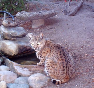 Bobcat in San Benancio Canyon