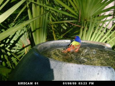 Painted Bunting in Fountain