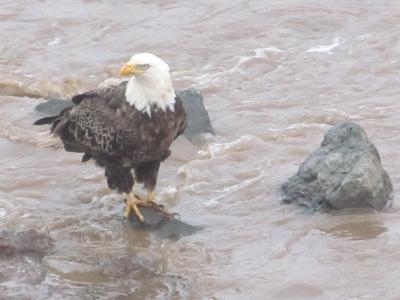 The Bald Eagle Waits for Fish