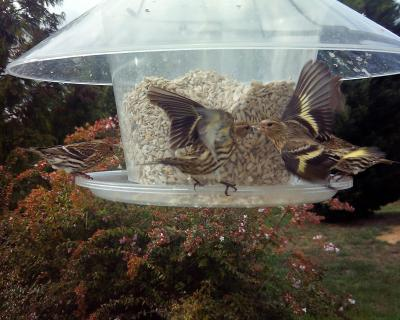 Fighting pine siskins