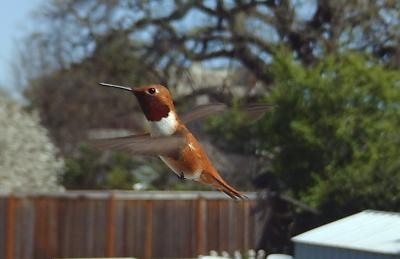 Rufus the Rufous Hummingbird