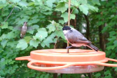 Carolina Chickadee and Ruby Throated Hummingbird