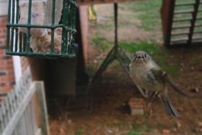 Ruby Crowned Kinglet 3