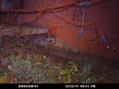 'Coon Caught on Camera in Rockville, Maryland