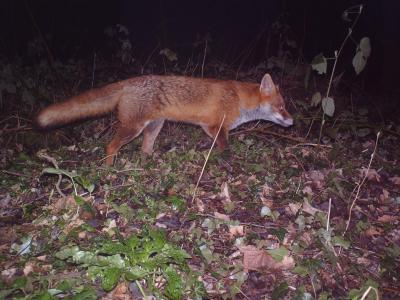 Fox on the Prowl in the United Kingdom