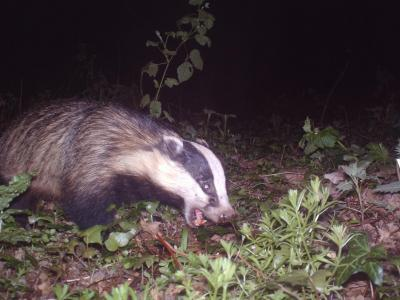 Badger Shows Its Teeth in Matlock, UK