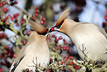 How Do Birds Say I Love You? Learn All About Bird Courtship